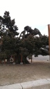 1,000 year old tree the Millenium juniper