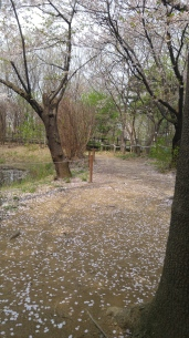 Whenever there was a bit of wind all of the petals would come floating down like snow. It was pretty.