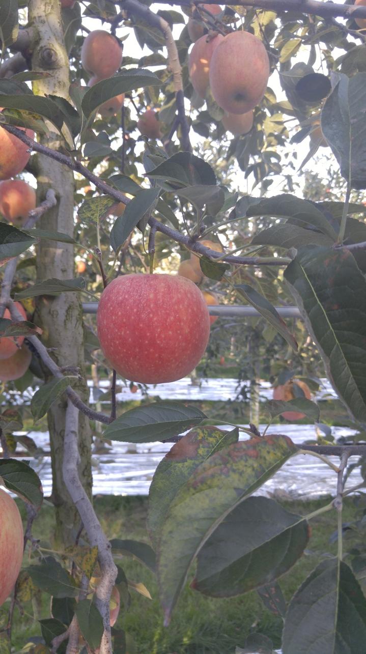 Apple Picking Tour: Haemi Folk Village and Yesan AppleFarm
