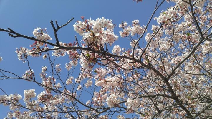 Jinhae Cherry Blossom Tour진해국항제